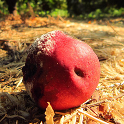 Geotrichum candidum on apple