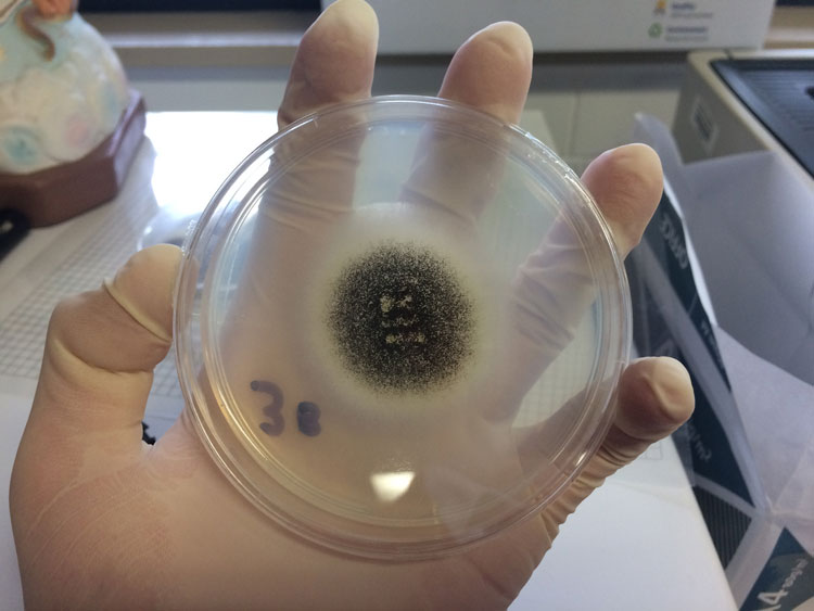 An Aspergillus Niger colony