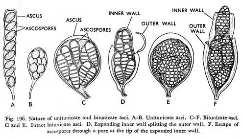 nature of asci and ascopores