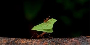 Two leaf cutter ants carrying pieces of leaves